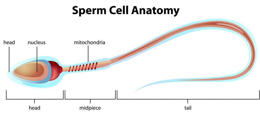 Sperm are male reproductive cells contained within a protein-rich liquid substance called semen.
