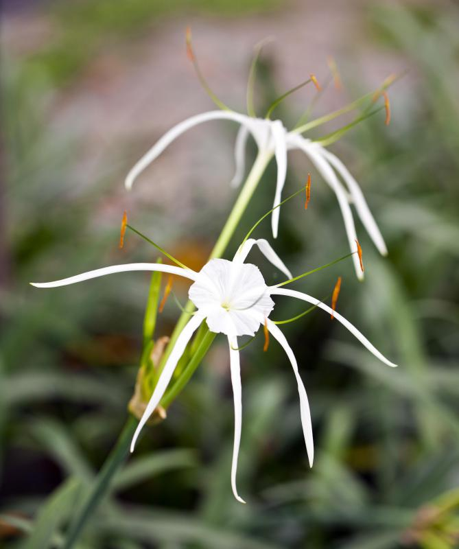 Spider lilies typically have long, slim petals that look like the legs of a spider.
