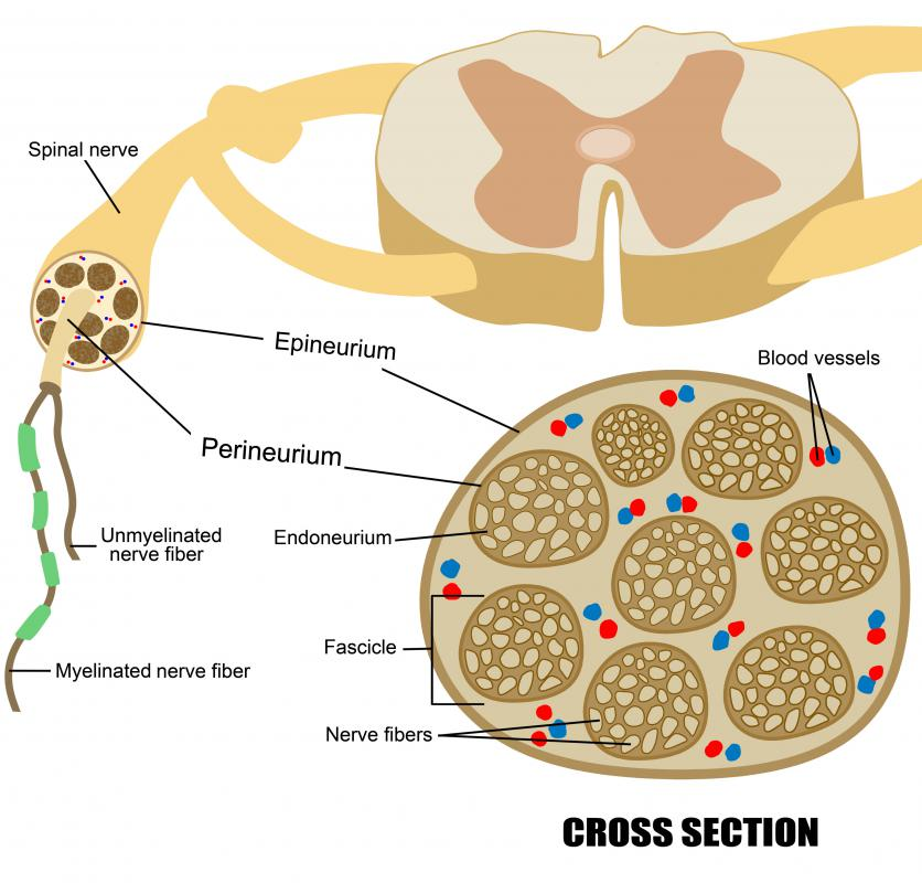 What Are Spinal Nerves With Pictures