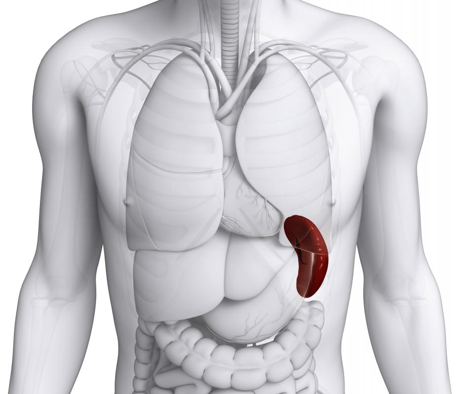 The celiac artery supplies blood and nutrients to the spleen, among several other organs.