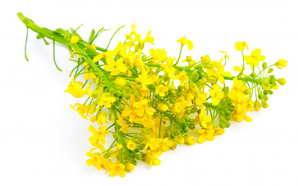 Sprig of rapeseed, which is used to make canola oil.