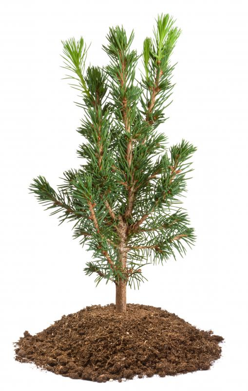 A bonsai spruce tree can be a challenge to care for because it takes a fair amount of skill to mold this tree, which prefers a cone-shape, into a wind-swept bonsai.