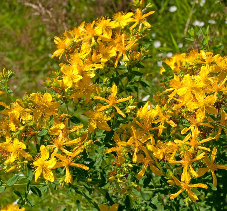 St. John's wort, which is sometimes used to treat fibromyalgia.