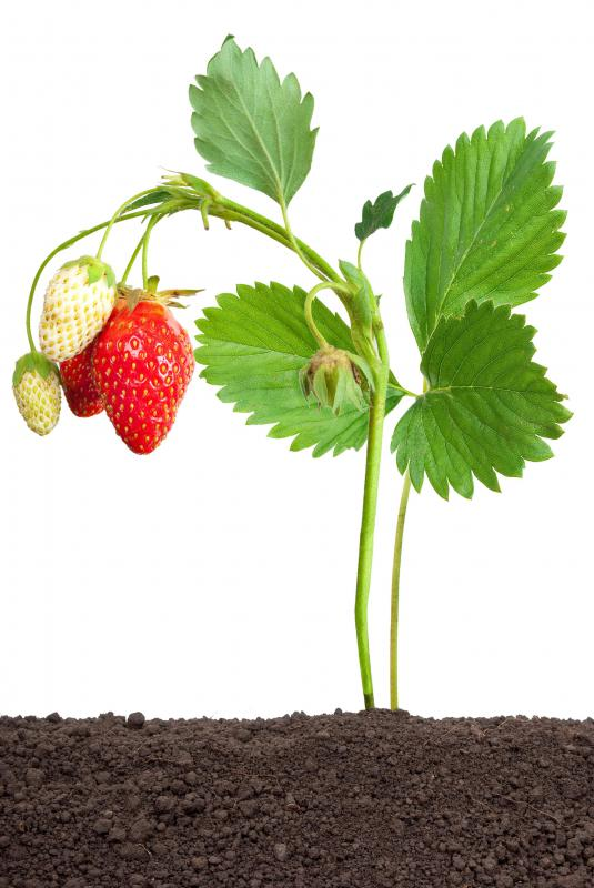 Strawberries are low in carbohydrates and high in vitamins, antioxidants and fiber.