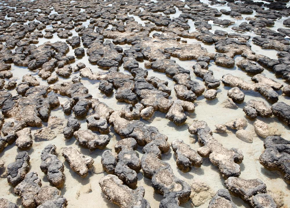 Stromatolites, which are fossilized mounds of layered algal mat and sediment, are the most common form of bindstone.