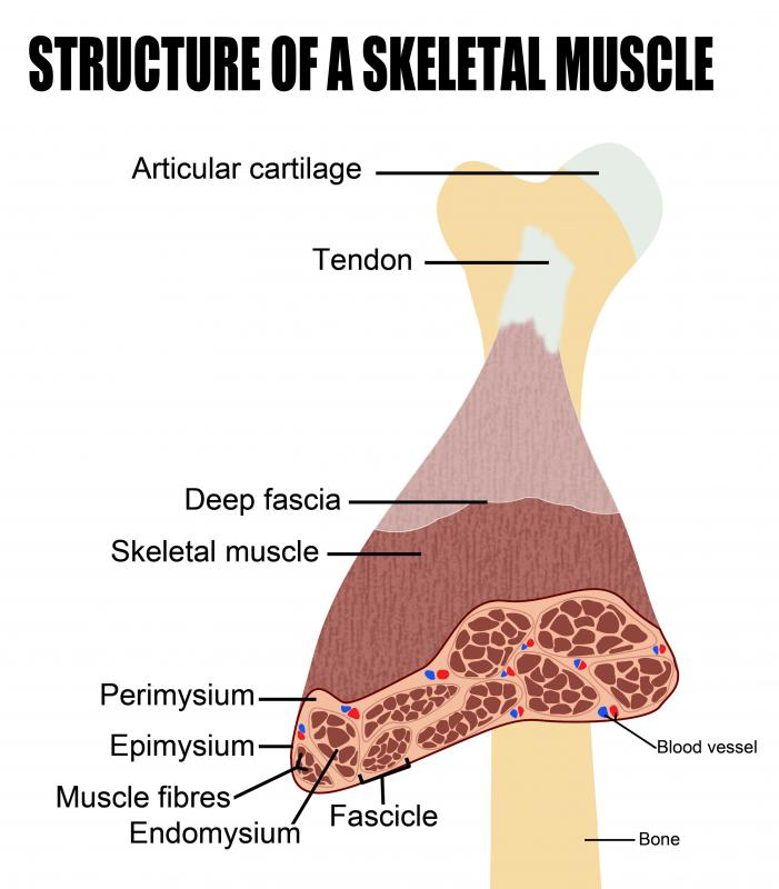 Skeletal muscle is made up of bundles of muscle fibers.