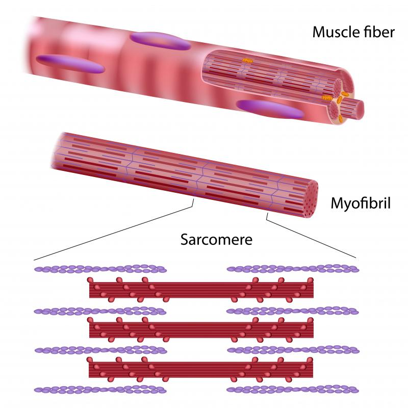 functional structure of skeletal muscle Full-text paper (pdf): skeletal muscle: a brief review of structure and function.