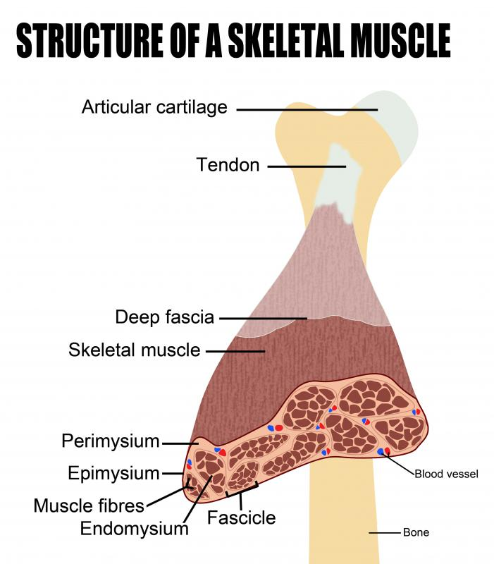 The intermuscular septum binds muscle fiber together to form each muscle.