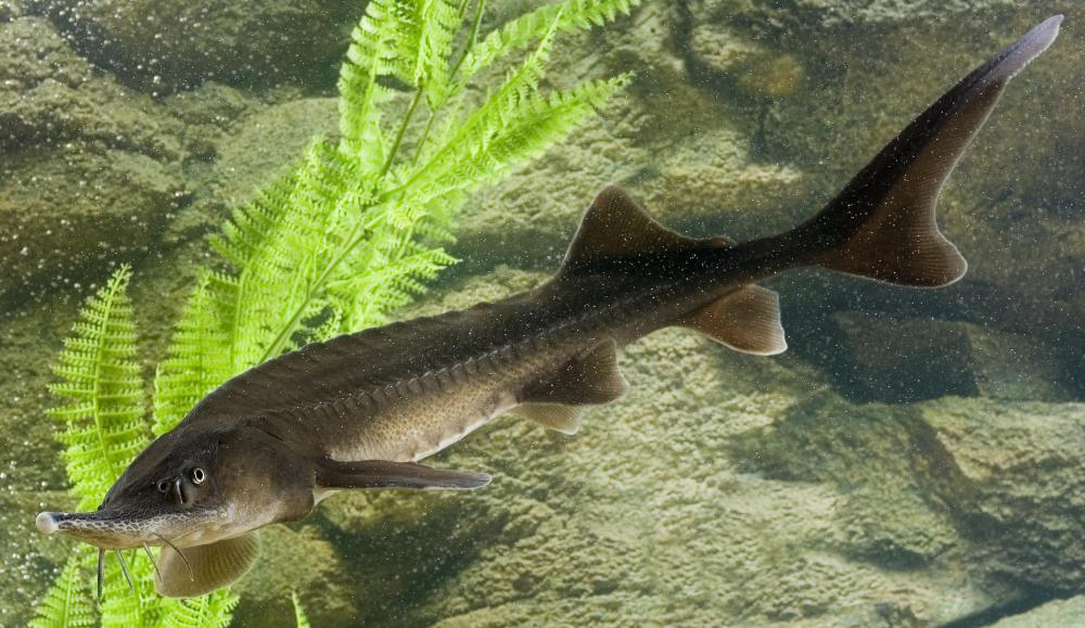 A sturgeon is a member of the Acipenseridae family of fish.