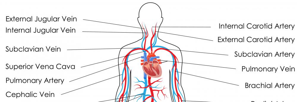 A person has two carotid bodies, one on each side of the neck.