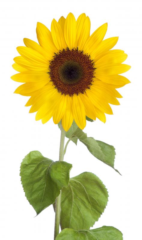 A sunflower.