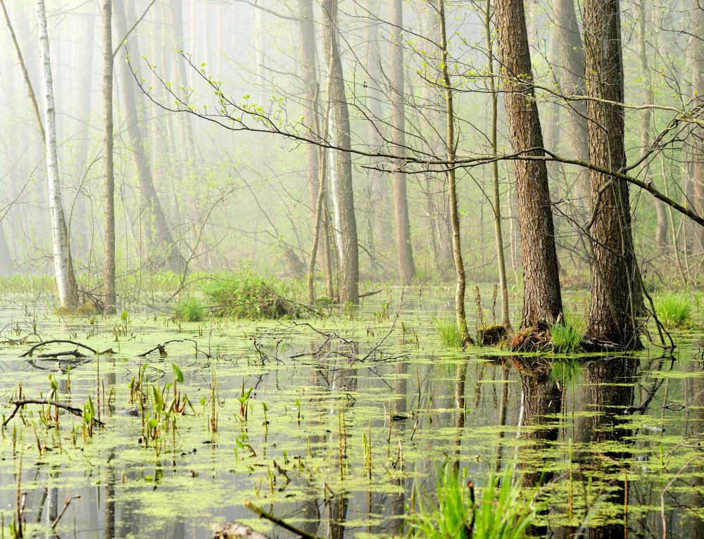 All types of swamps are considered wetlands.