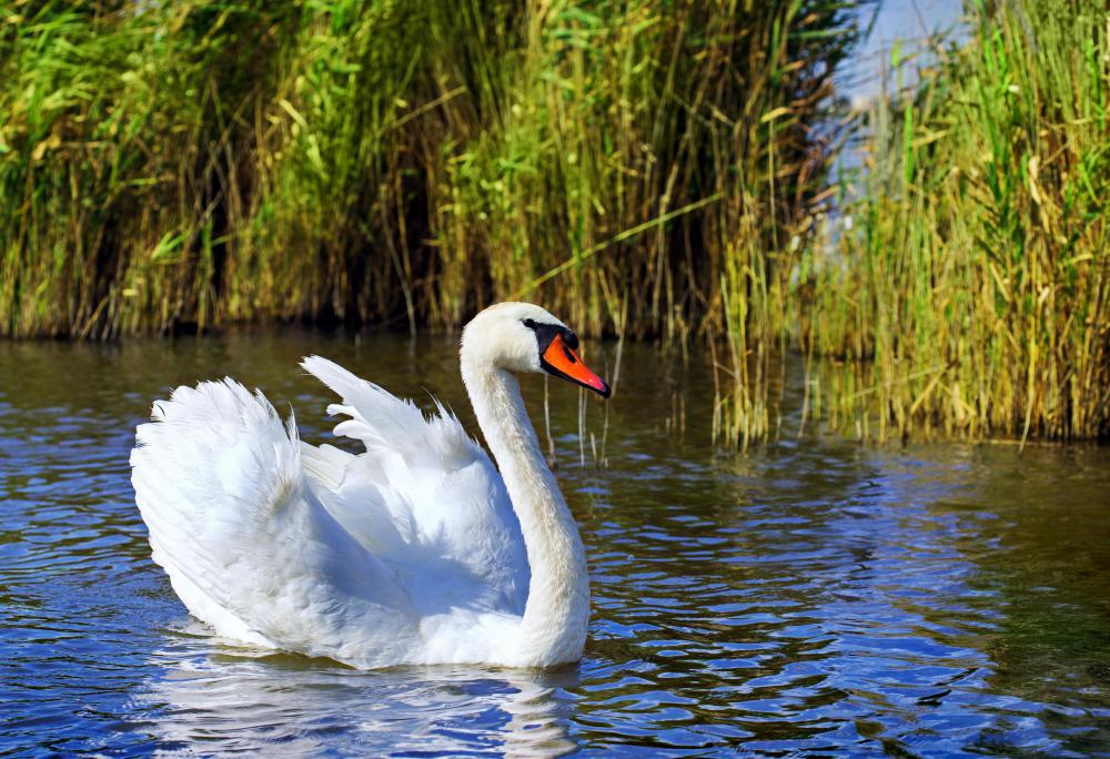 Swans are commonly seen in the wetlands biome.