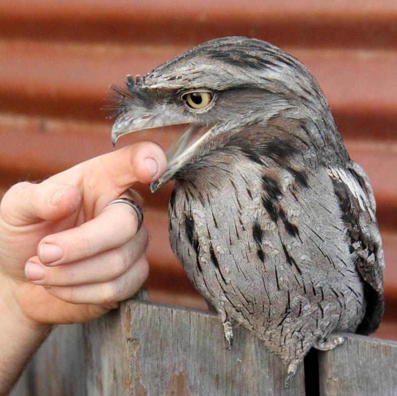 A poor flier, the tawny frogmouth is primarily a ground feeder.
