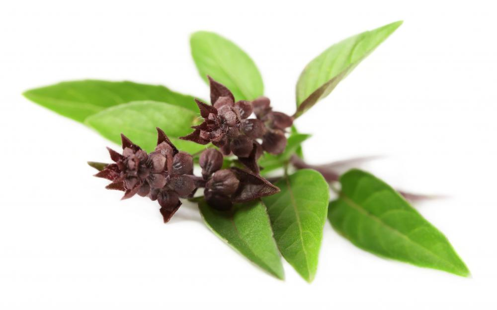 Thai basil is a cultivar of sweet basil, Ocimum basilicum, with a licorice flavor.