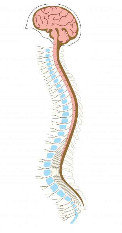 Nerve sheath tumors affect the peripheral nervous system, which is part of the central nervous system that connects the nerves in the body to the spinal cord and brain.