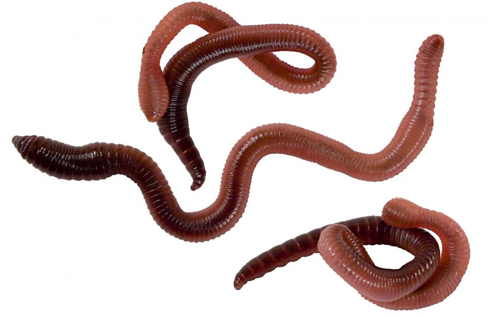 Earthworms are simultaneous hermaphrodites.