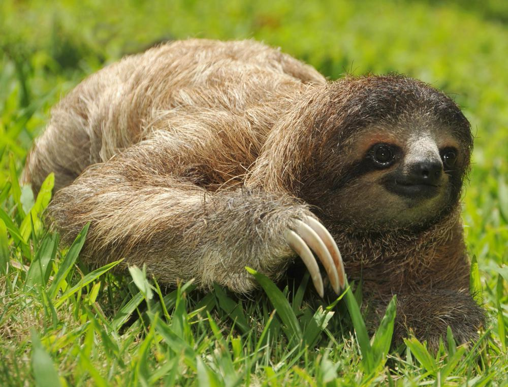 Sloths eat leaves, fruits and tree shoots and buds, and occasionally small animals and birds.