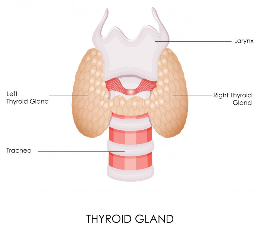 The endoderm lines all glands that open into the digestive tube, including the thyroid gland.