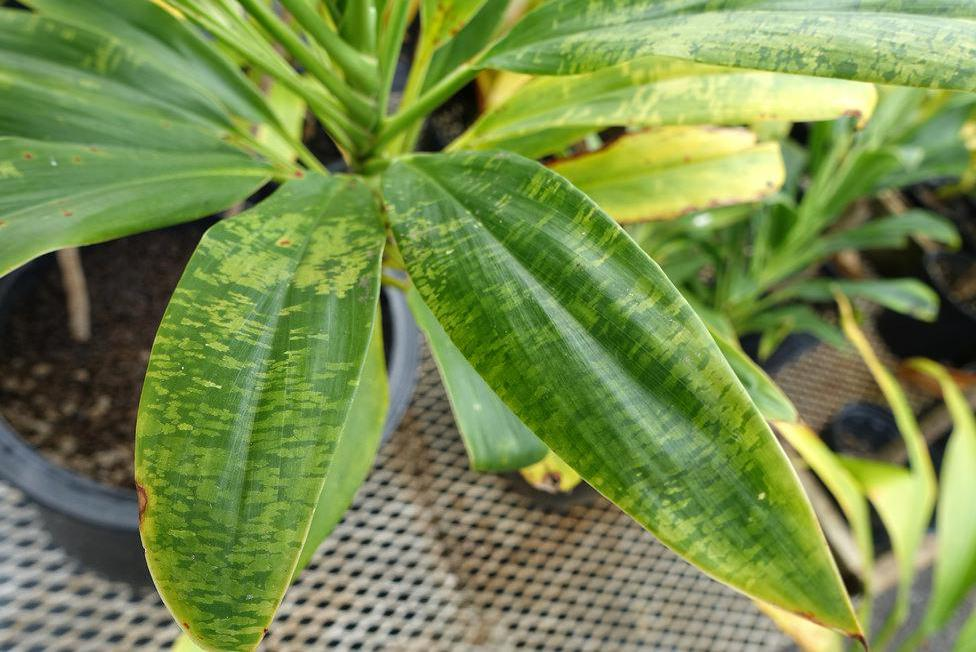 Also known as the 'good luck plant', ti plants can be recognized by the light colored strips that appear on their leaves.