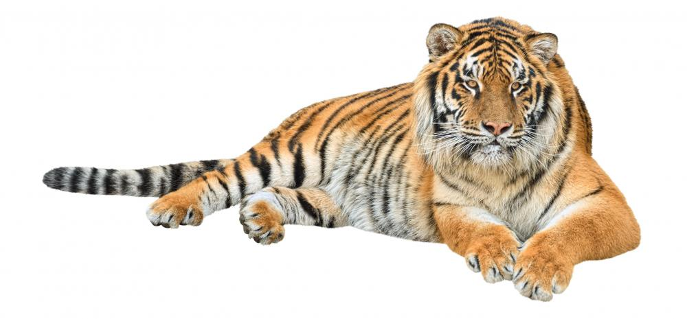 The now-extinct Caspian tiger resembled the Bengal tiger.