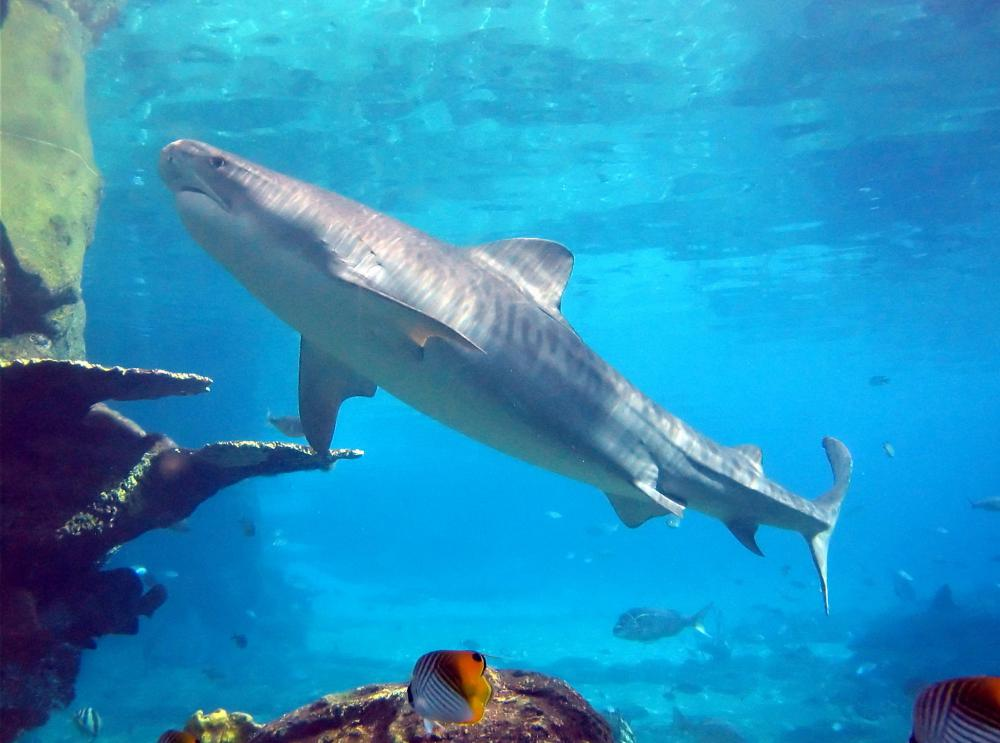 Tiger sharks can sometimes be observed during eco-friendly tours.