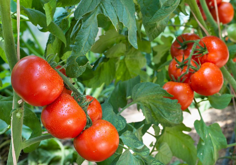 Early blight can affect a tomato crop.