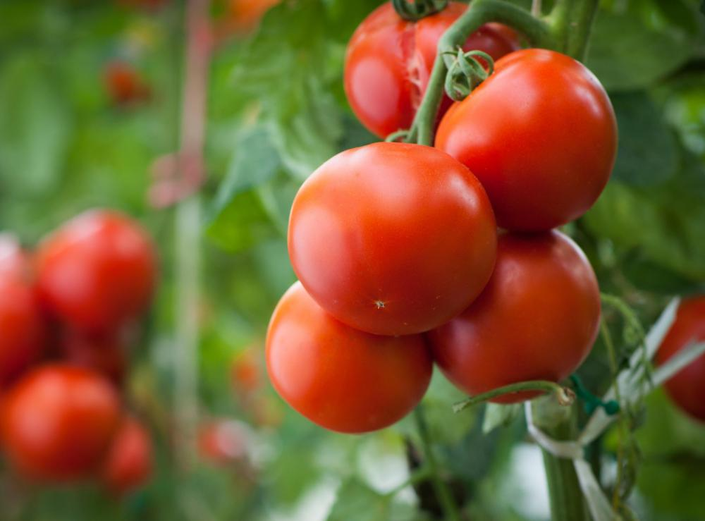 Pests, disease, and incorrect watering can all be significant problems for tomato plants.