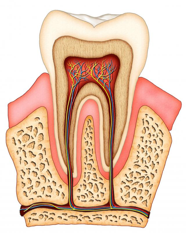 A cross section of a tooth.