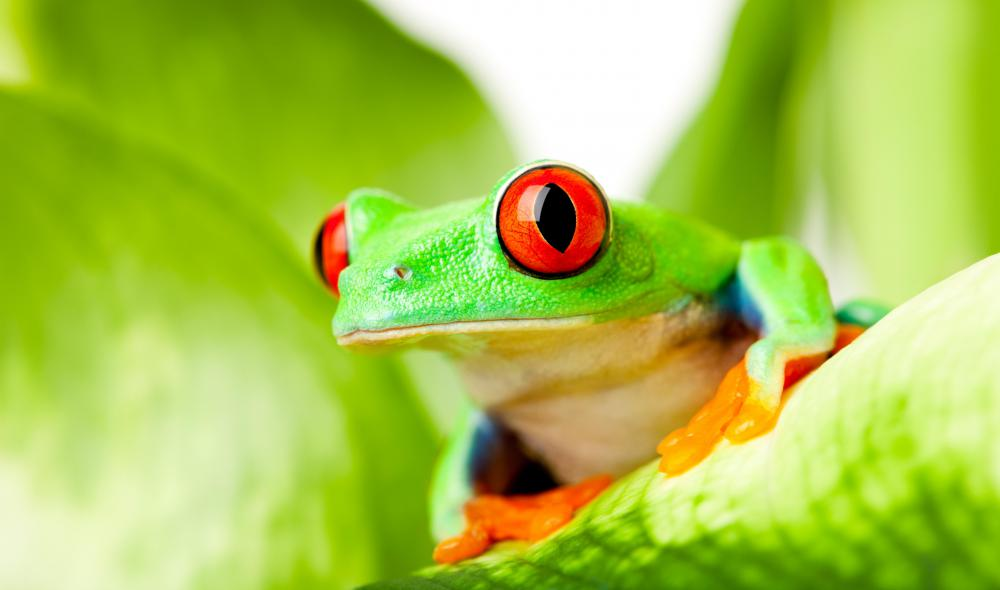 Tree frogs are involved in the legend of tapirage.