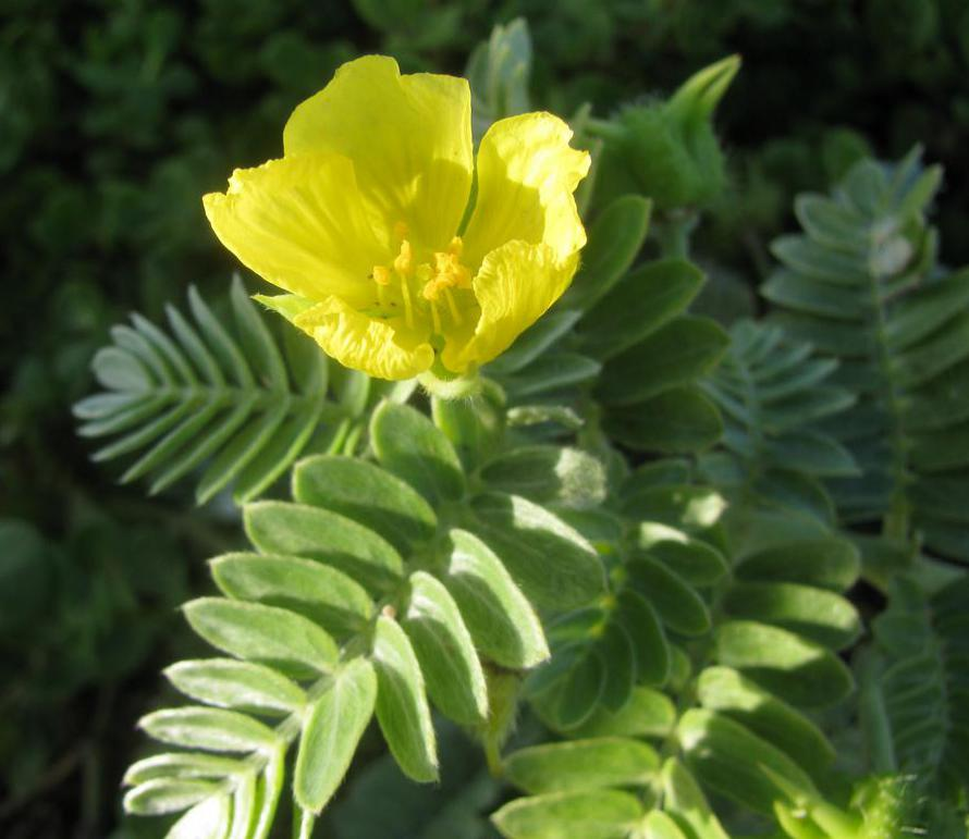 A tribulus supplement comes from the herb tribulus, a flowering plant.