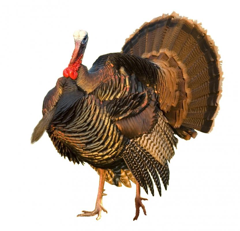 Wild turkeys were abundant in colonial America.