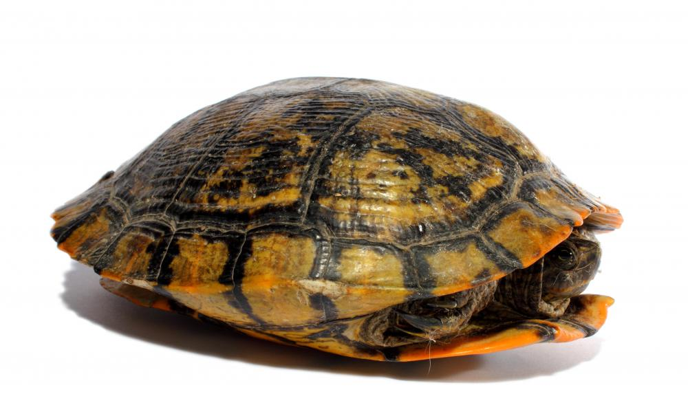 Different Types Of Water Turtles What are the different types