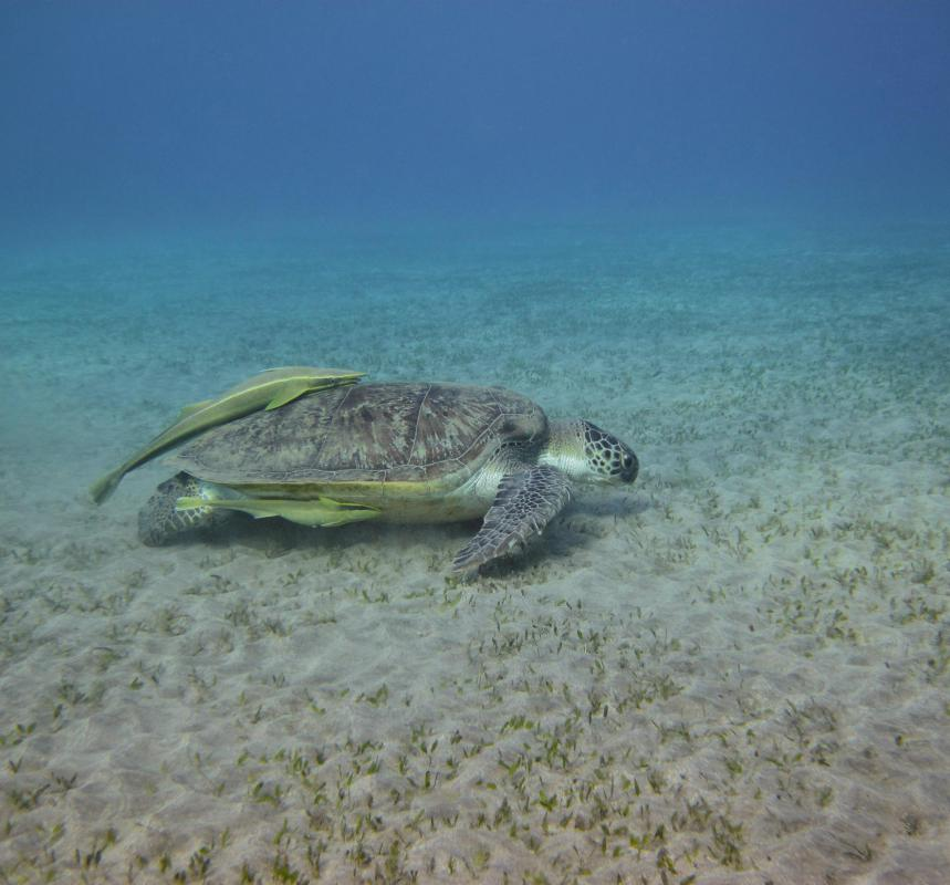 Turtles will sometimes prey on sea slugs.