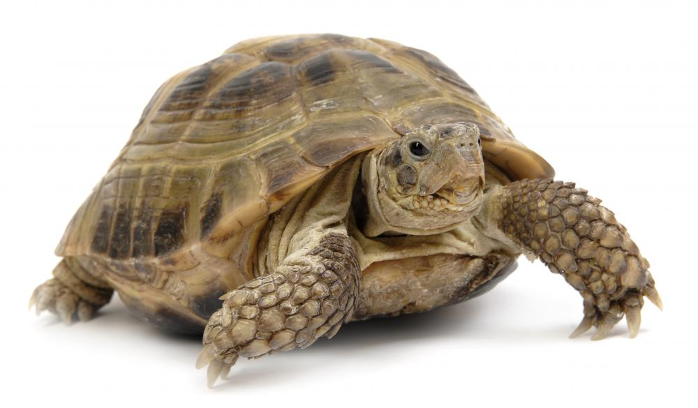 A live turtle, after which caramel turtles are named.
