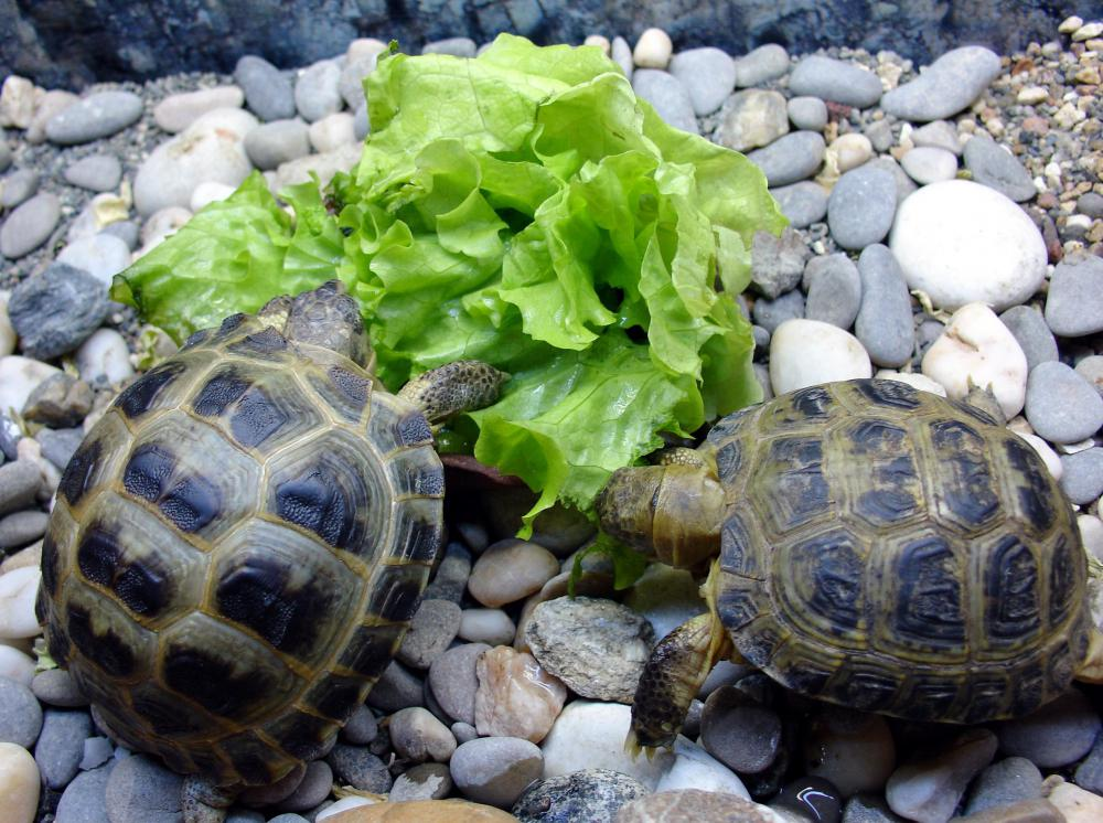 Some herbivore and omnivore turtles love greens.