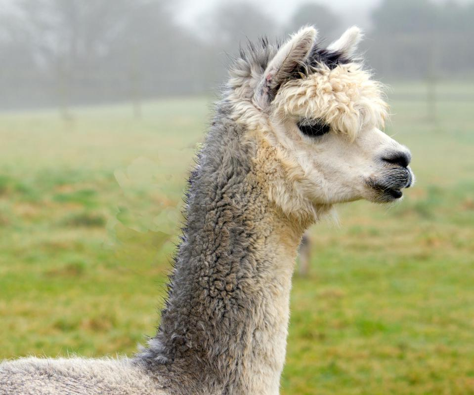 Alpacas are related to llamas.
