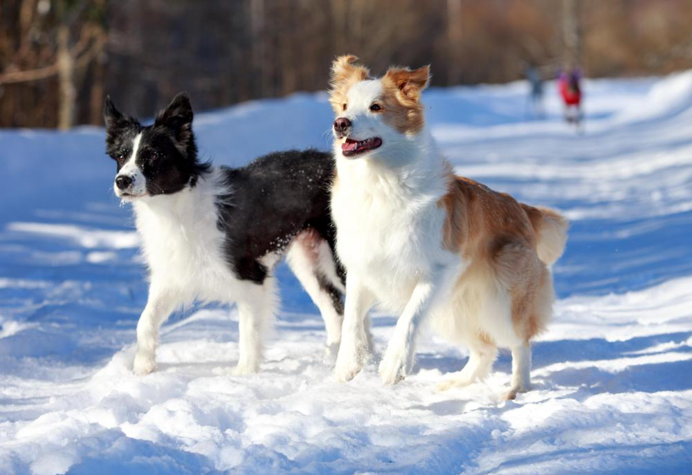 Border collies are known to be superb in the weaving poles.