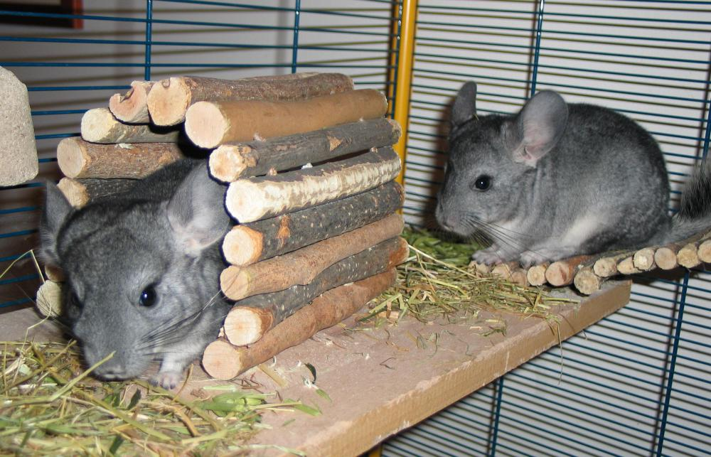 Zoo educators may teach children using small animals such as chinchillas.