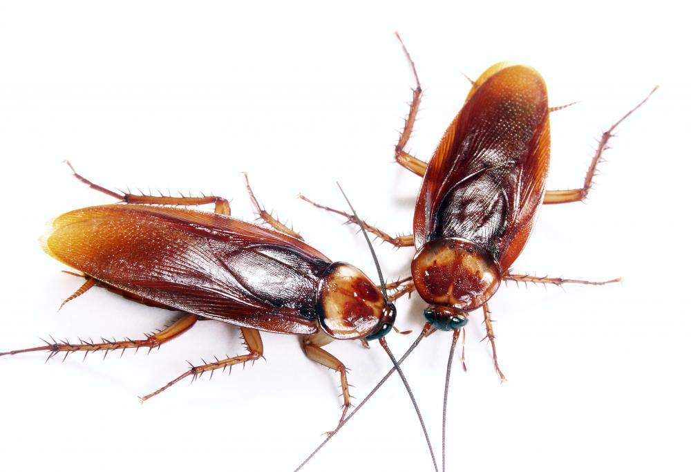 What is the Lifespan of a Cockroach? (with picture)
