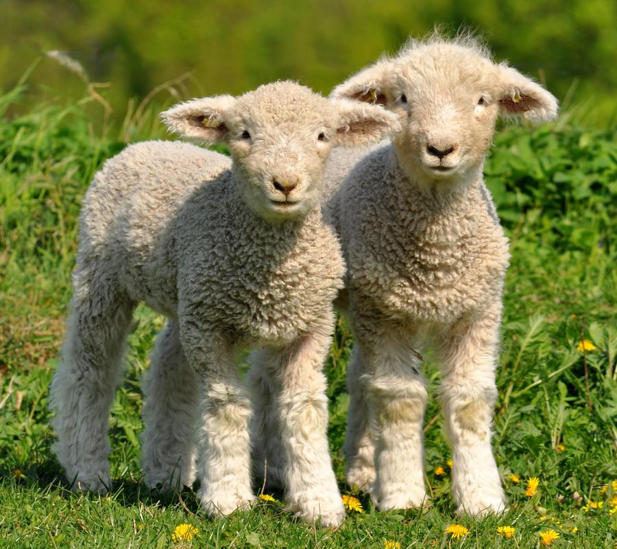 """Mary Had a Little Lamb"" is a popular nursery rhyme that tells of a shepherd girl."