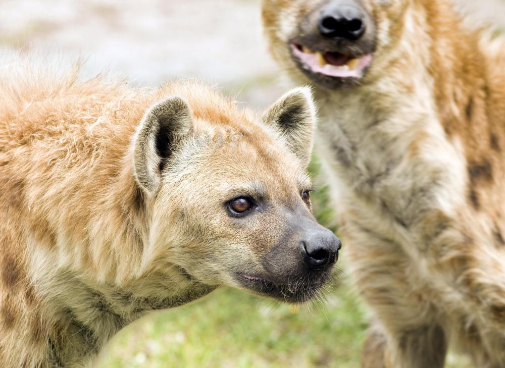 Hyenas are native to Africa and Asia, and may live alone or in large groups.