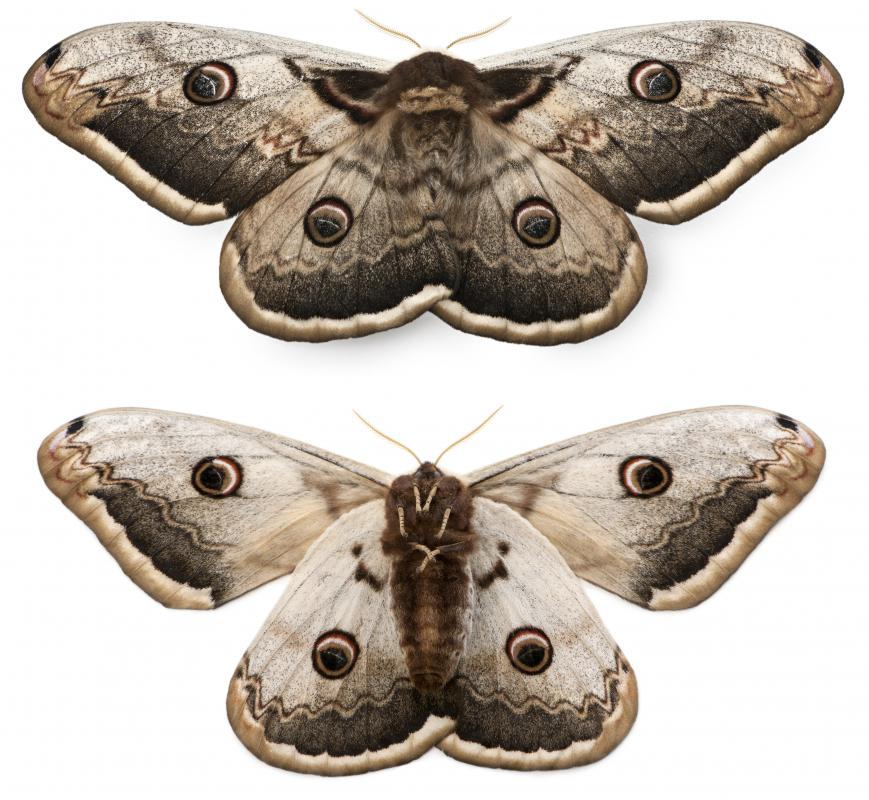 Moths have positive phototaxis, meaning they are naturally attracted to light.