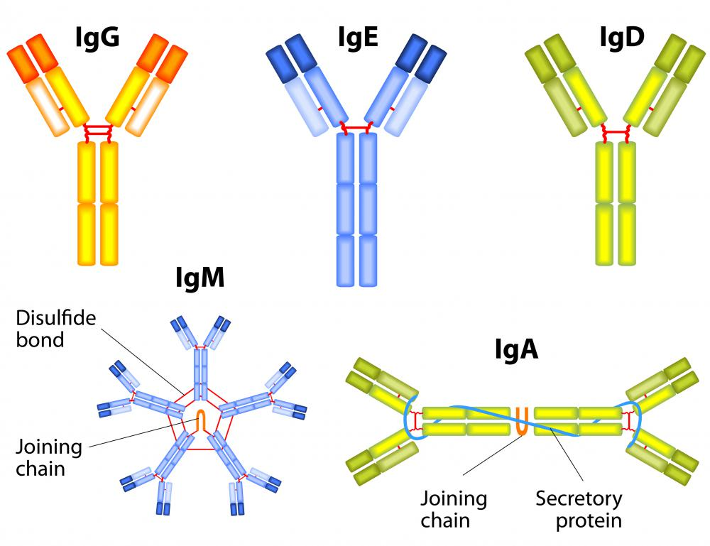 The IgA antibody has the same basic protein structure as other immunoglobulins.