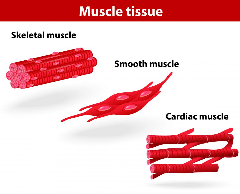 what is cardiac muscle tissue? (with pictures)