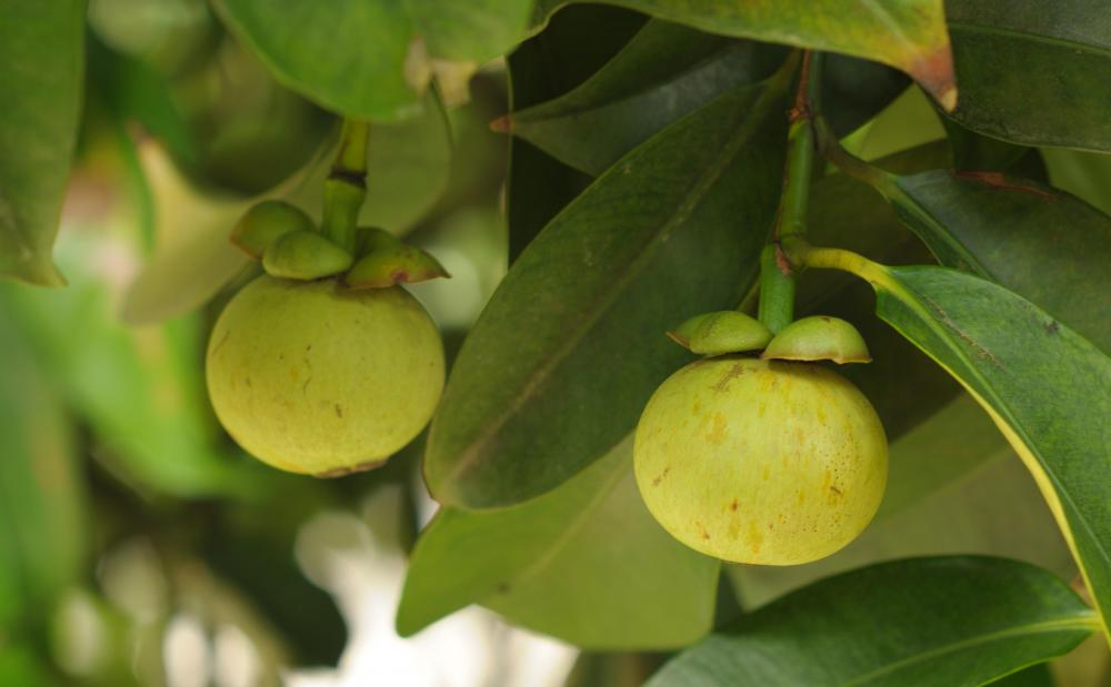 What Is Garcinia Cambogia Extract With Pictures