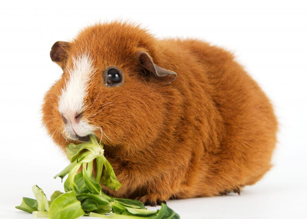 Guinea pigs need regular tooth checks.