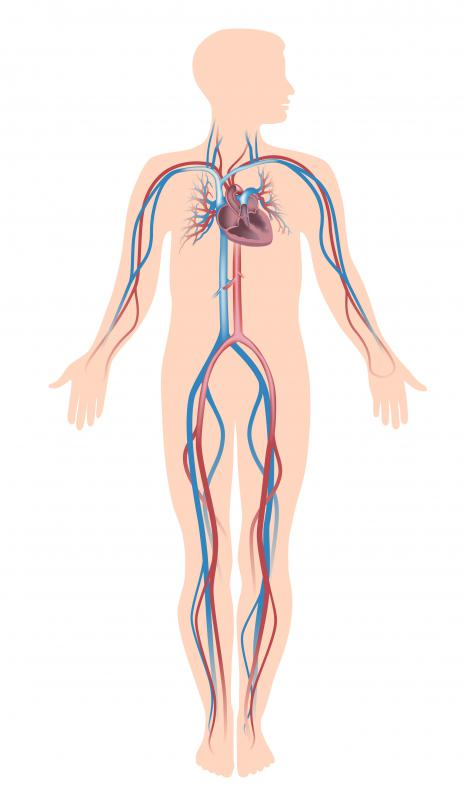 What Makes up the Human Vascular System? (with pictures)