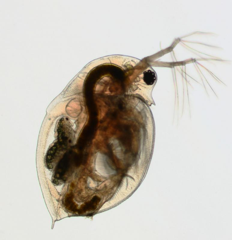 Common Water Flea : ... includes tiny organisms such as water fleas, which are crustaceans