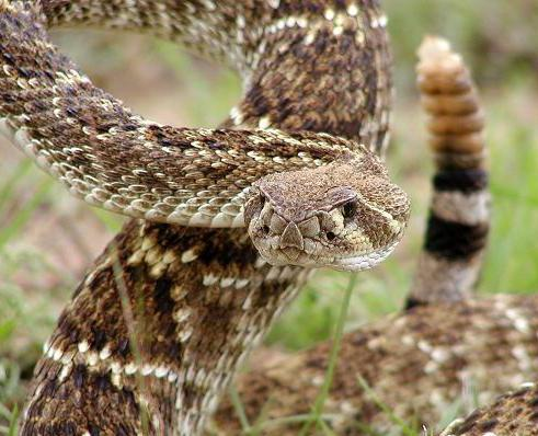 The western diamondback rattlesnake can reach lengths of 6 feet and more.